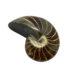 ammonite fossil 111