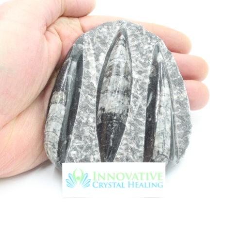 Orthoceras Fossil